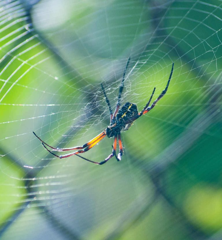 Spider in web - essential oils spider bites