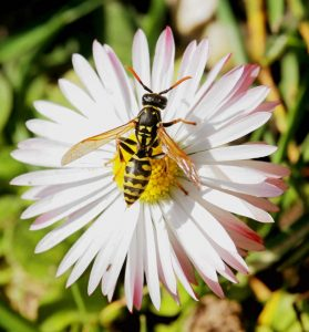 Yellow Jacket or Wasp on flower