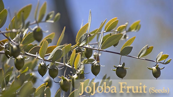 Photo of Jojoba Bush (female) seeds.