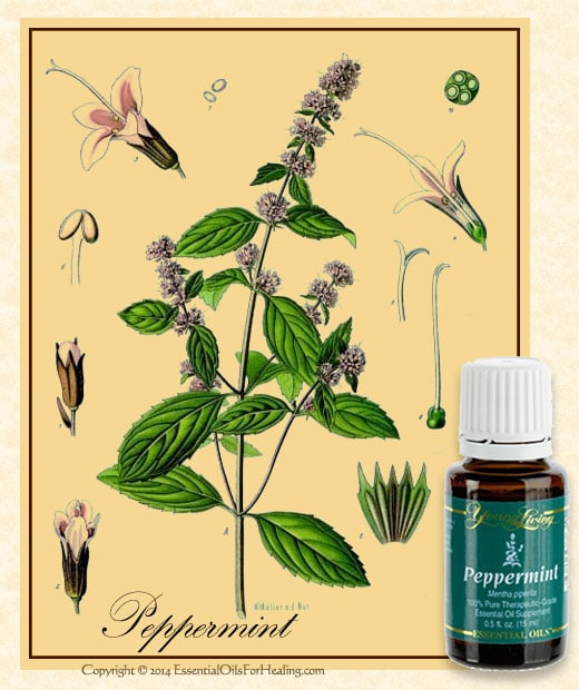 young living peppermint oil with antique botanical illustration