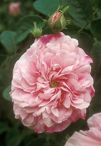Rosa damacena