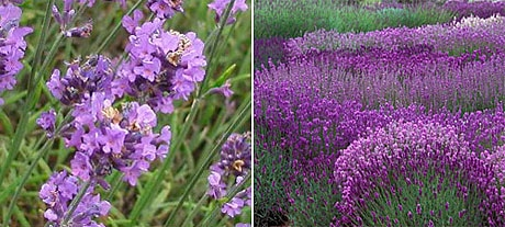Lavender angustifolia, blossom detail & in full bloom