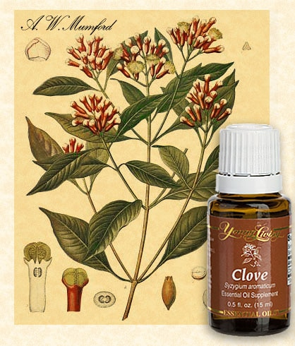 bottle of clove therapeutic essential oil with a. w. mumford 1901 botanical illustration