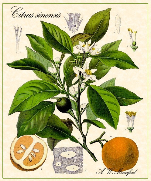 essential oil from orange tree's leaves, rind, and flowers have powerfully healing effects