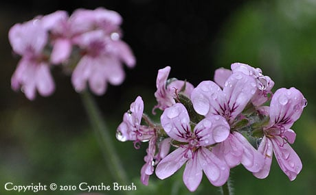 Rose Geranium essential oil is produced from the plant's leaves, not the violet flowers