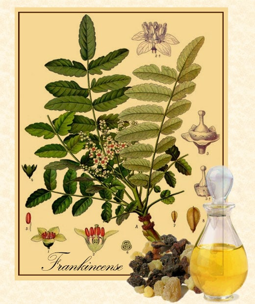 Frankincense resin and essential oIl with botanical illustration