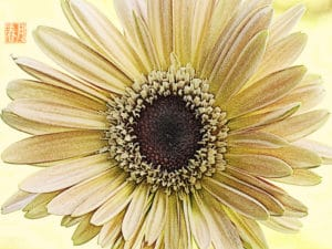 blushed ivory gerbera daisy digital etching by cynthe brush