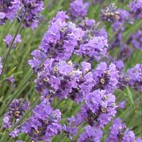 image of lavender blooms