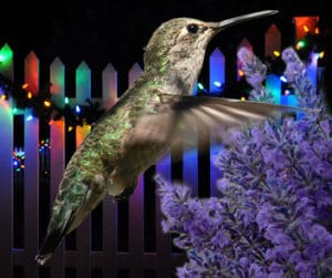 anna's hummingbird, lavender, christmas lights on a fence composite image