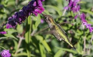 anna's hummingbird feeding on mexican sage flowers