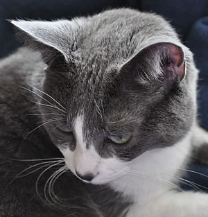gray and white cat face and ears photo