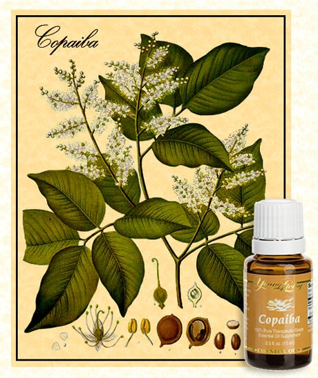 copaiba botanical illustration with bottle of young living copaiba on essential oils for healing.com