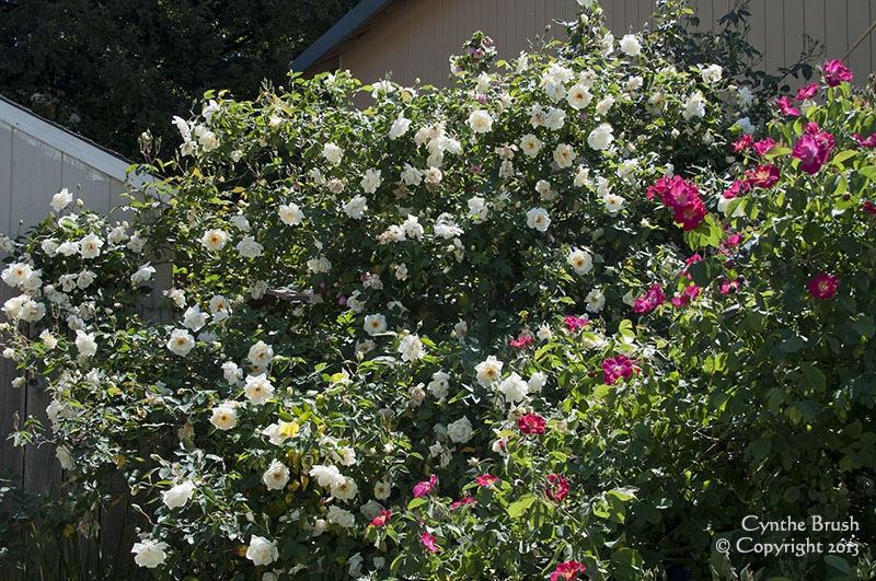 white climbing and red shrub roses in full bloom