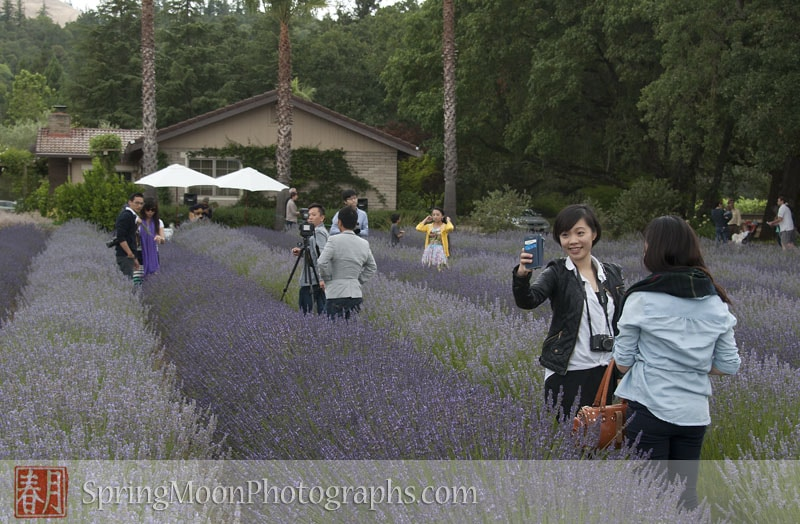 chinese tourists in sonoma county lavender fields