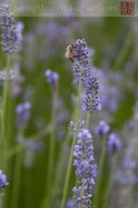 honey bee on lavender flowers