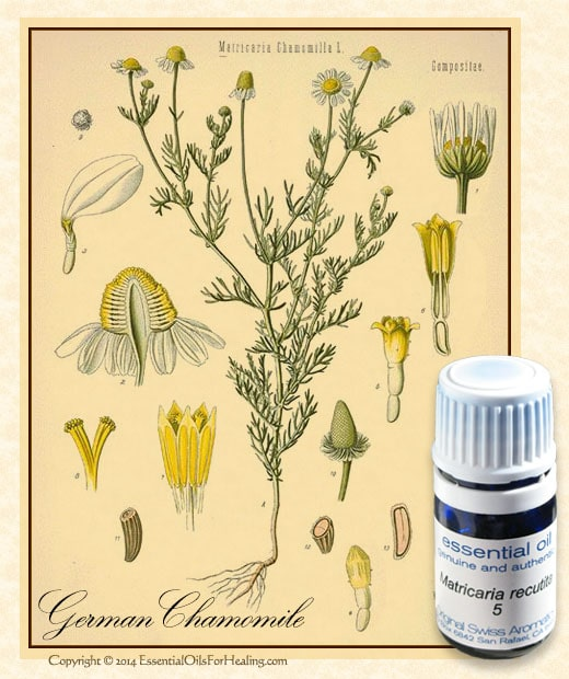 eGermanChamomile-botanical