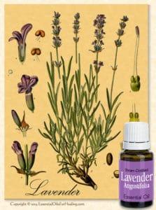bottle of lavender oil with antique botanical illustration