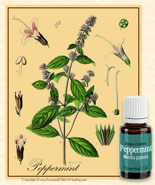 bottle of therapeutic grade peppermint essential oil with antique botanical illustration