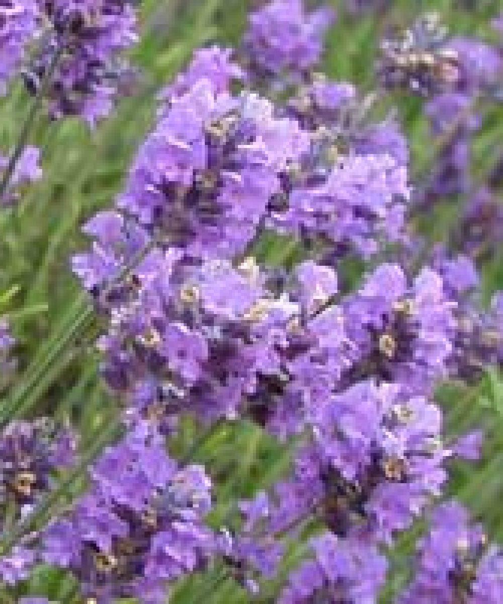 image of lavender blooms