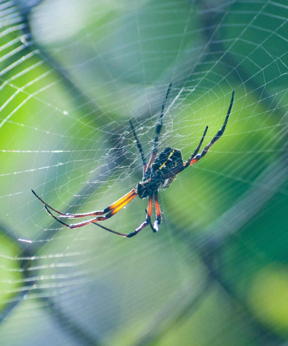 Spider in web - essential oils spider bites