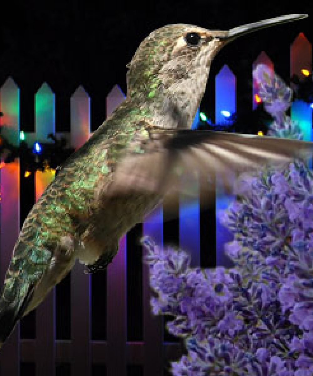 annas hummingbird lavender christmas lights on a fence composite image