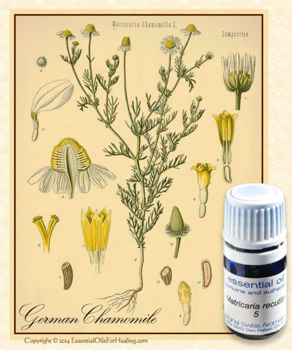 eGermanChamomile-botanical