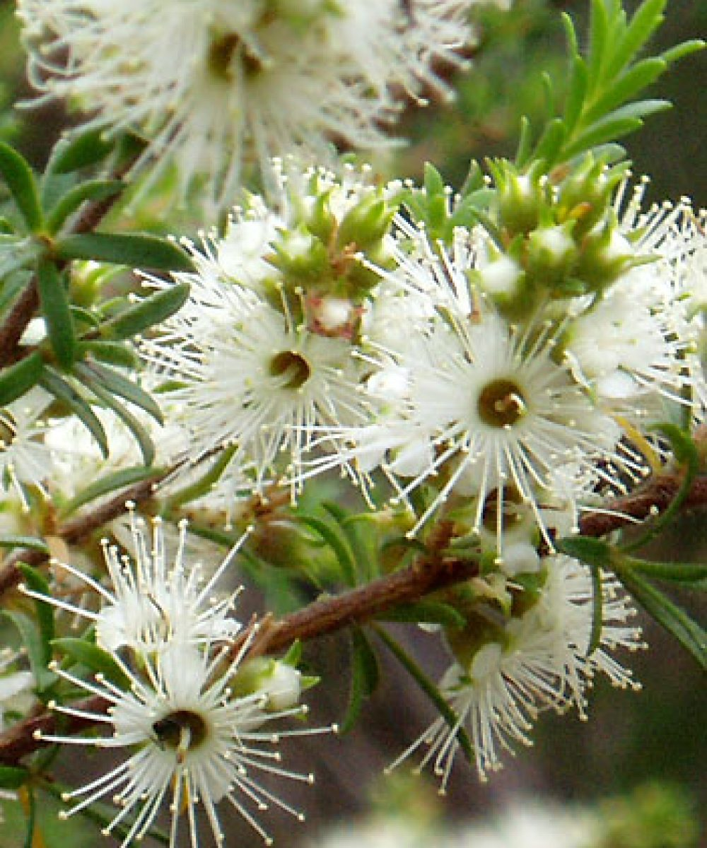 Kunzea ambigua, an Australian shrub with healing essential oils